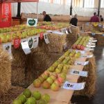 festival de la  manzana villaviciosa (3)