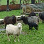 jornadas de la oveja xalda aguero (1)