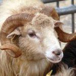 jornadas de la oveja xalda aguero (2)