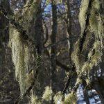En invierno el bosque ha perdido sus hojas pero no por ello es menos espectacular. Sus troncos aparecen recubiertos de liquenes que cuelgan tambien de sus ramas creando un ambiente mágico.